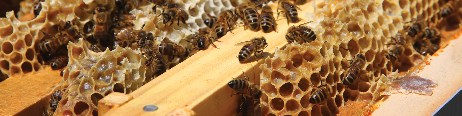 mainslideshow-background-image-beekeeping-club